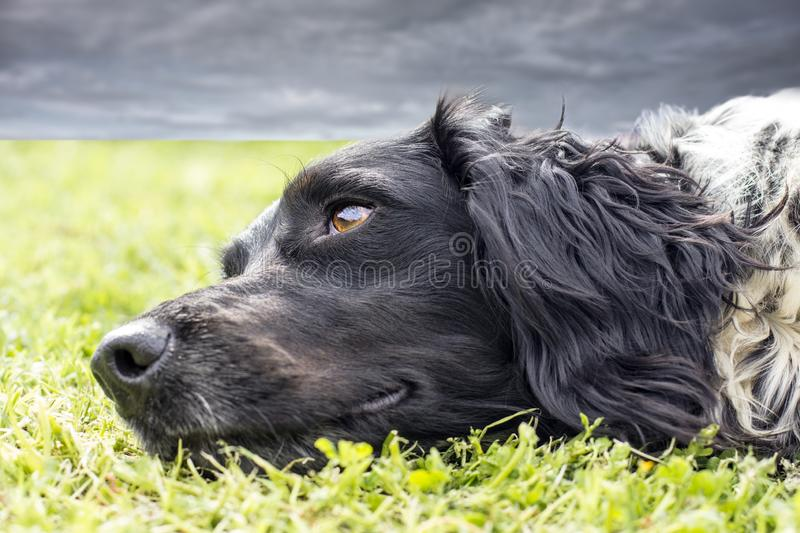 Dog with dreamy eyes. Close-up of dreamy dog lying with the muzzle on the grass