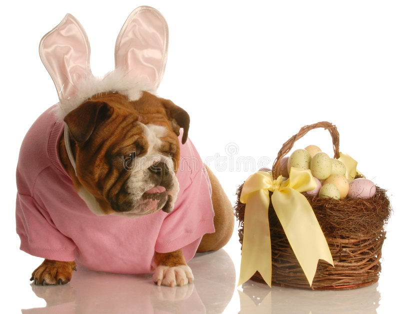 Dog dressed as easter bunny stock photography