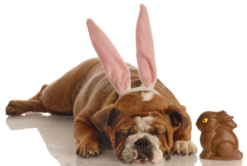 Dog dressed as easter bunny royalty free stock photo