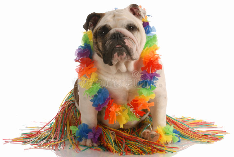 Dog dressed as a hula dancer royalty free stock photography