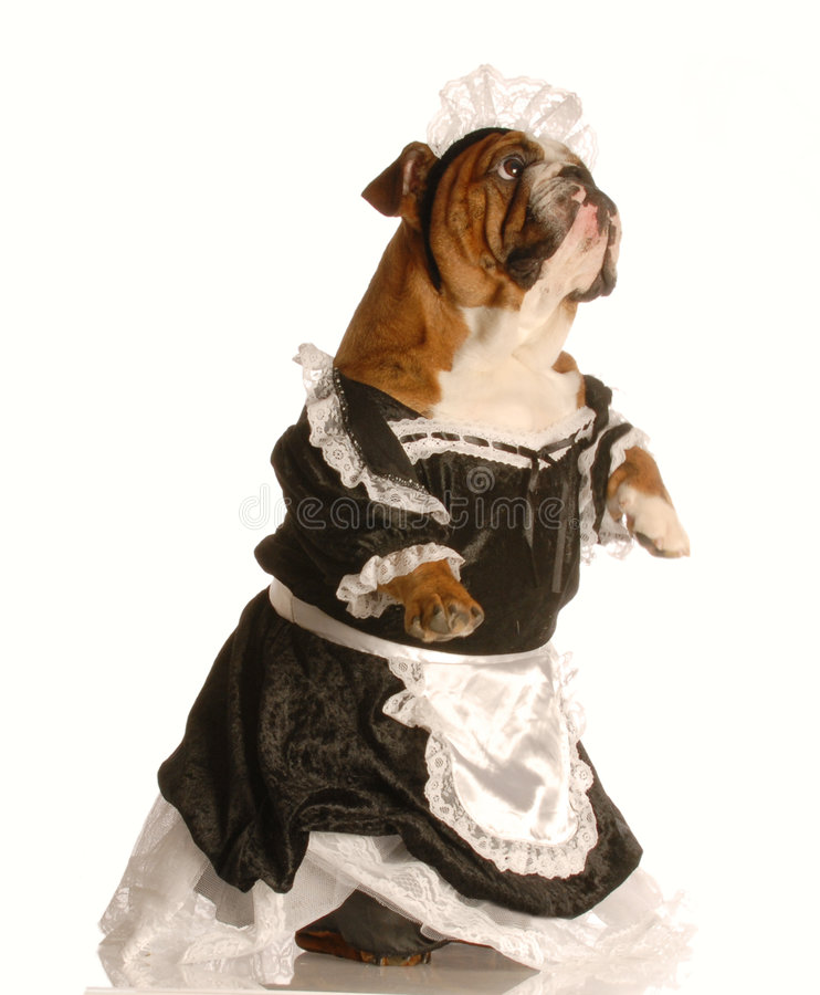 Dog Dressed As A Maid Stock Photography