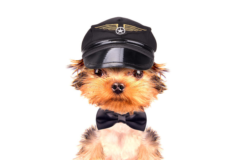 Dog dressed as pilot stock photography
