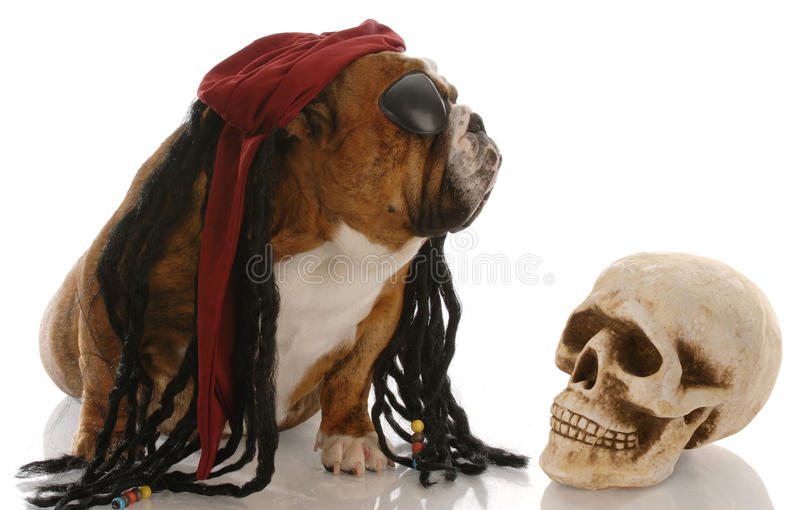 Dog dressed as a pirate royalty free stock photo
