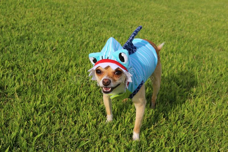 Wonderful Chihuahua Canine Adorable Dog - dog-dressed-as-shark-chihuahua-wearing-outfit-grass-background-65100091  Gallery_968830  .jpg