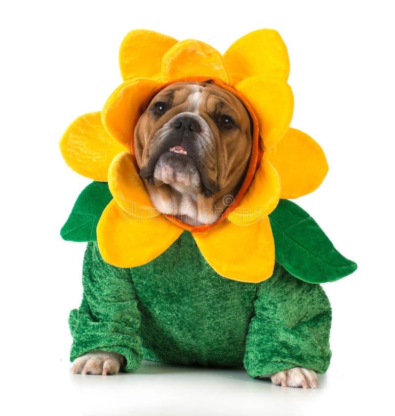 Dog dressed like a flower royalty free stock image