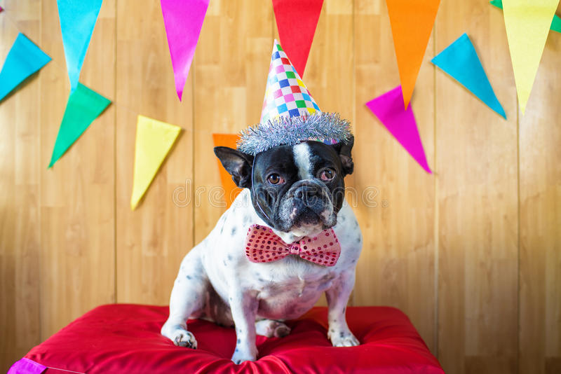 Dog dressed for party stock photography