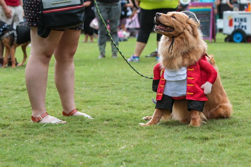 Dog Dressed In Pirate Costume At Atlanta Doggy Con Event. Atlanta, GA, USA - August 18, 2018: A dog dressed in a pirate costume sits on the grass at the stock photo