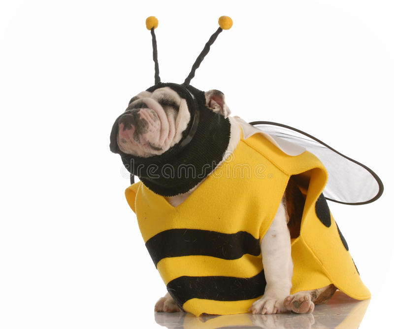 Dog dressed up as a bee stock photos