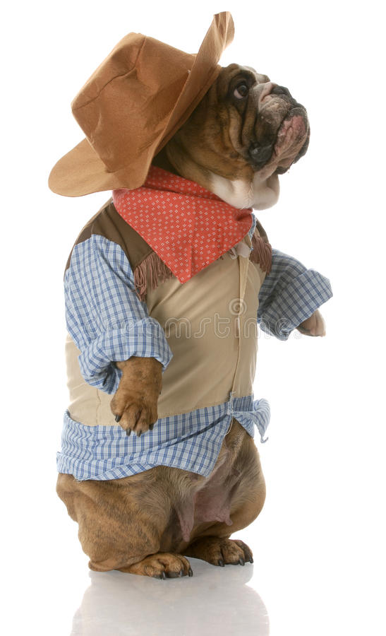 Dog dressed up as a cowboy stock image
