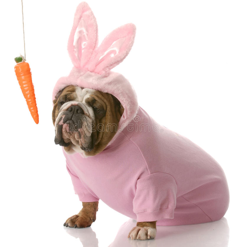 Dog dressed up as easter bunny royalty free stock photography