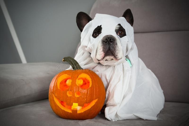 Dog dressed up as a ghost and halloween glowing pumpkin at home stock image
