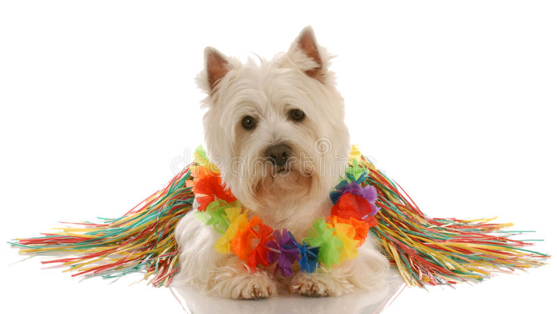 Dog dressed up as hula dancer. West highland white terrier dressed up as a hula dancer stock images