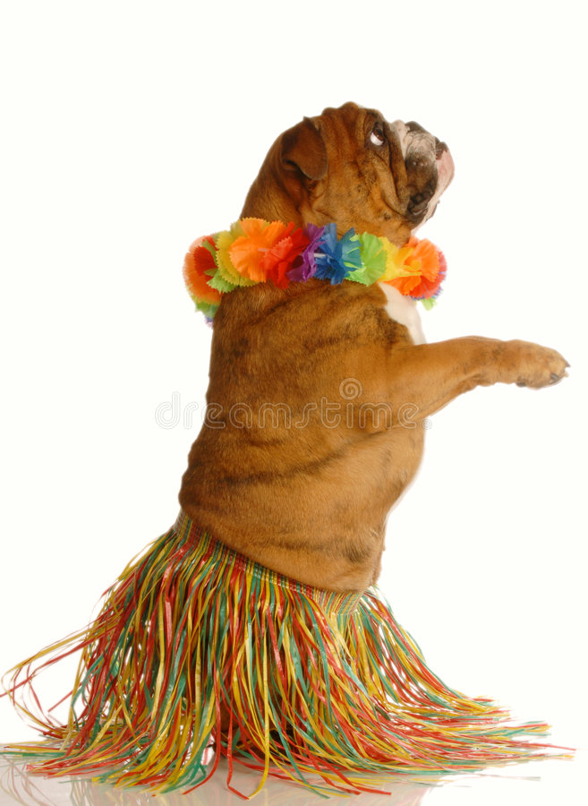 Dog dressed up as hula dancer. English bulldog dressed as a hula dancer isolated on white background stock images