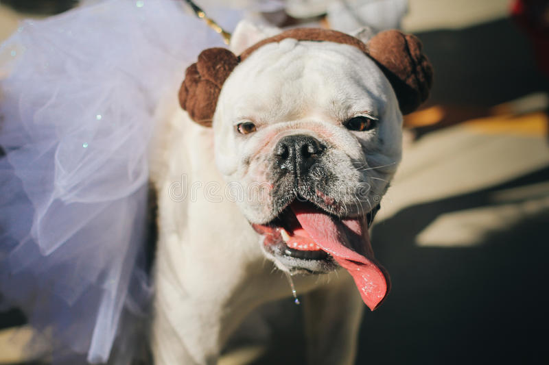 Dog Dressed Up As Princess Leia Costume stock photo