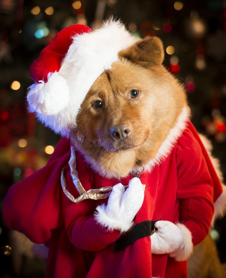 Dog dressed up as Santa Claus royalty free stock photo
