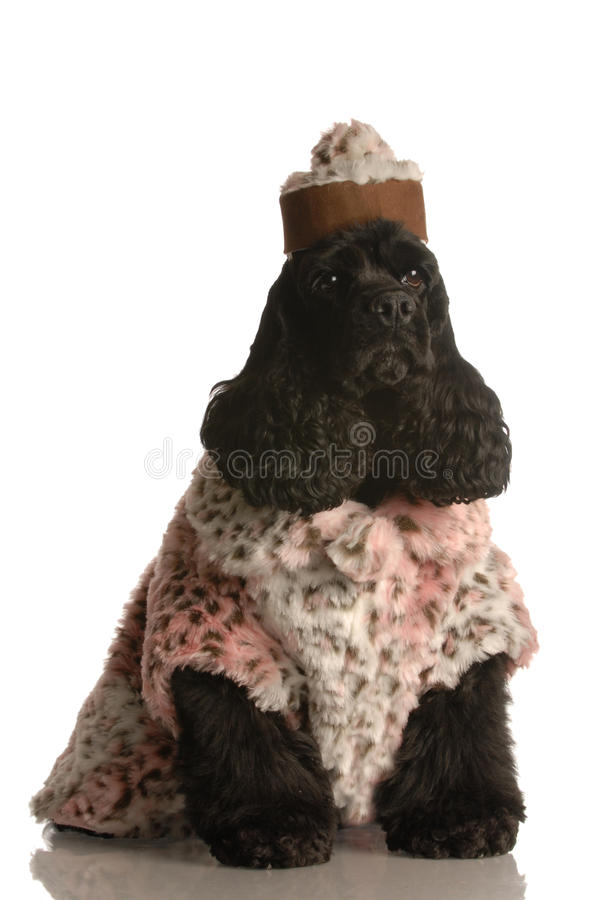 Dog dressed up in fur coat and hat royalty free stock photos