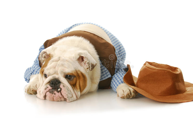 Dog dressed up like a cowboy royalty free stock photography