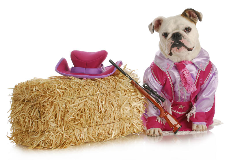 Dog dressed up like a cowgirl. English bull on white background royalty free stock images
