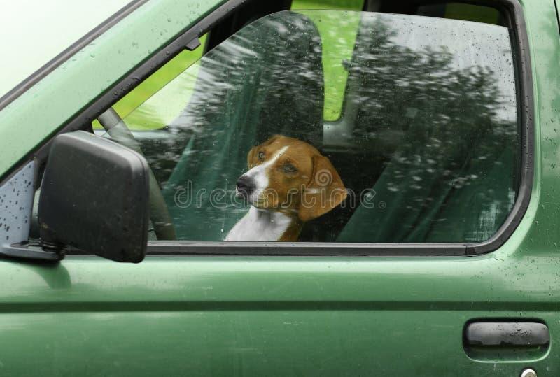 Dog Drever driving car stock images