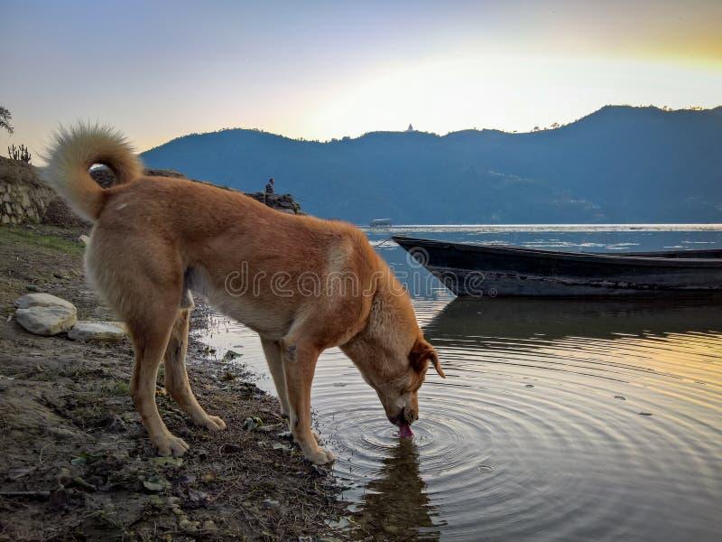 Dog Drinking at Lake. A dog drinking from the lake at sunset stock photos