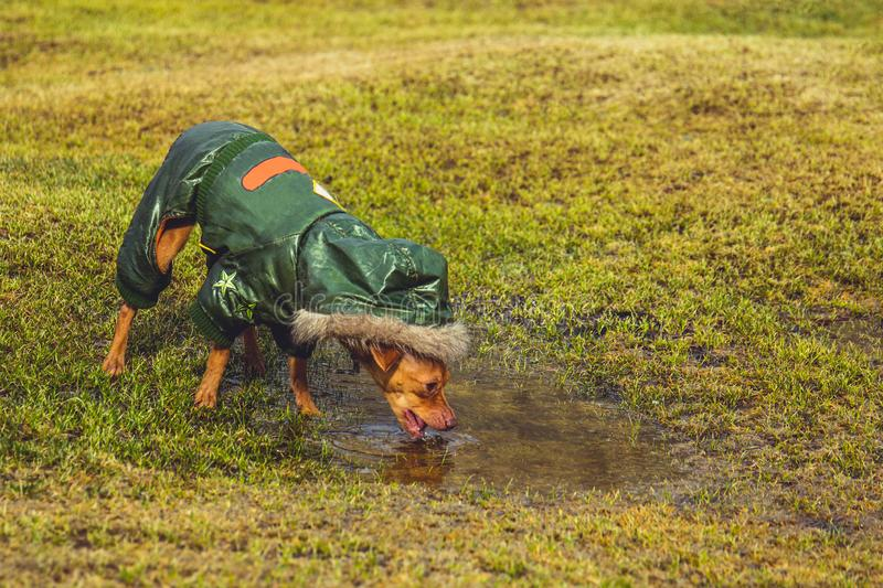 Dog drinking from a puddle royalty free stock photography