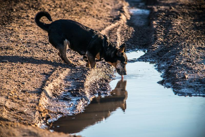 Dog drinking water in nature stock image