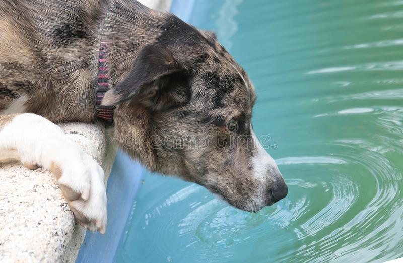 Dog drinking water from a pool close detail. Dog drinking water from a pool during a high temperatures spring season in the Spanish mediterranean island of royalty free stock images