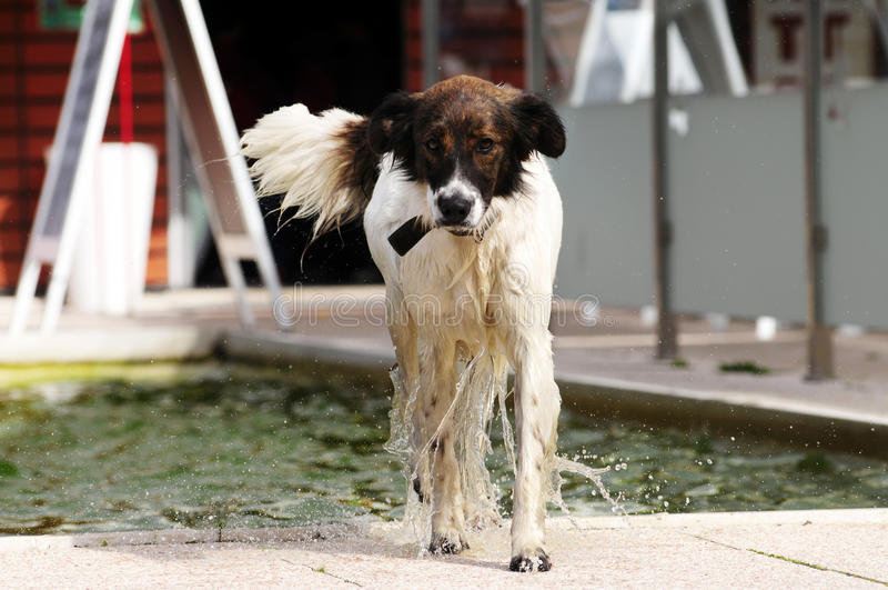 Dog Dripping Water. After bath in a fountain stock images