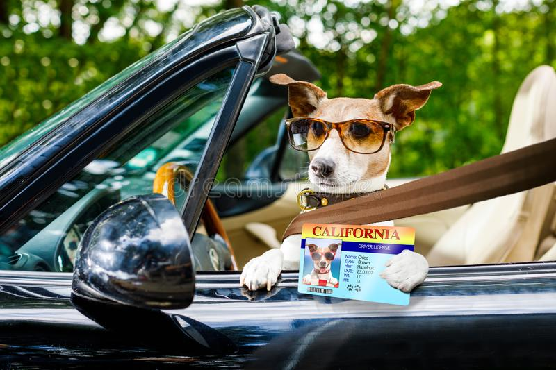 Dog drivers license driving a car. Jack russell dog in a car close to the steering wheel, ready to drive fast and save , with seat belt fastened, with drivers royalty free stock photos
