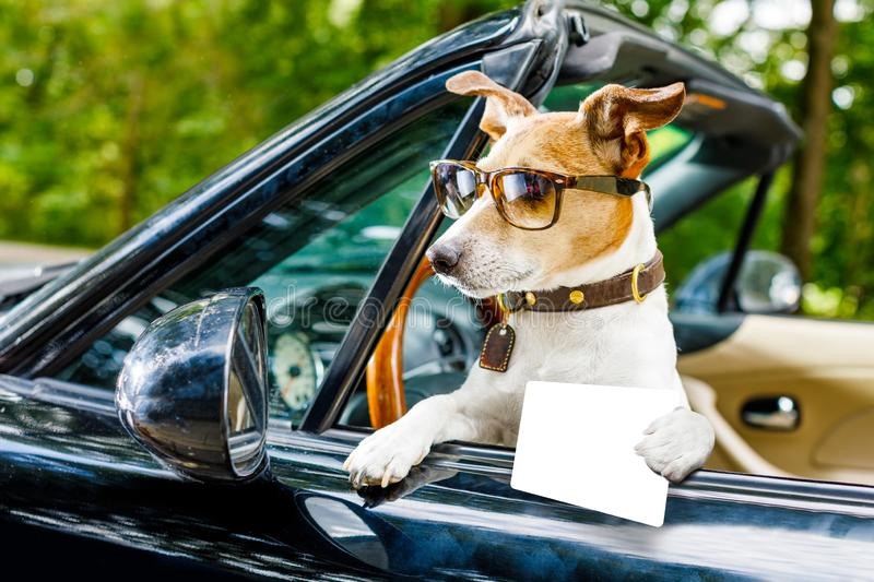 Dog drivers license driving a car. Jack russell dog in a car close to the steering wheel, ready to drive fast and save , with seat belt fastened, with drivers royalty free stock image