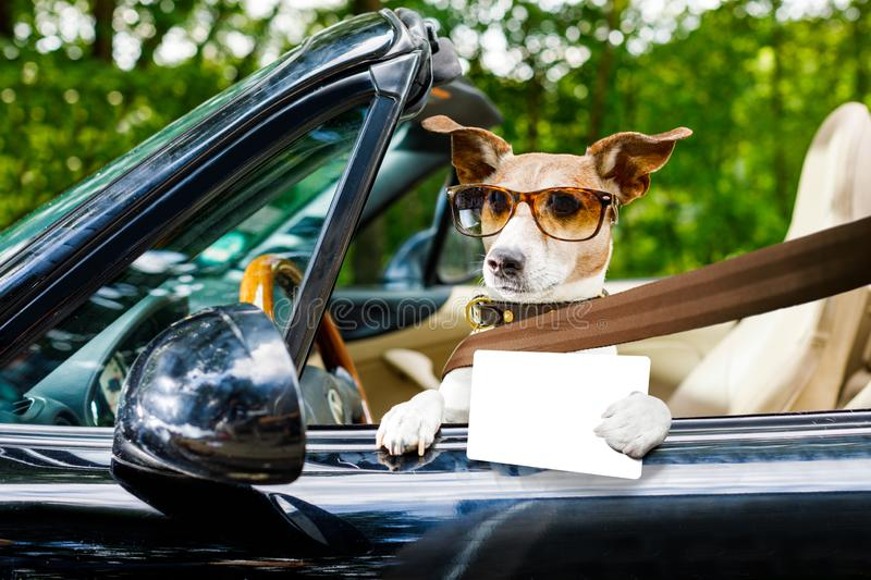 Dog drivers license driving a car. Jack russell dog in a car close to the steering wheel, ready to drive fast and save , with seat belt fastened,with drivers stock image
