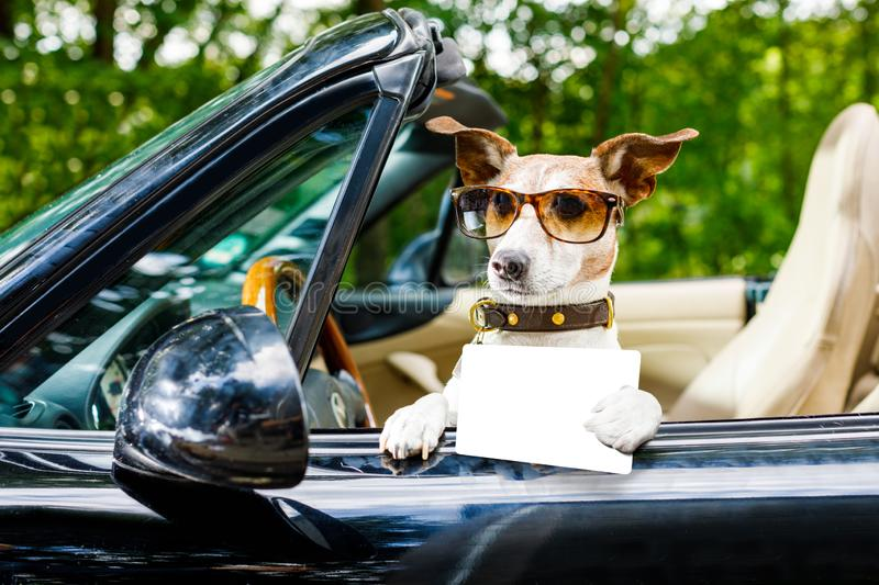 Dog drivers license driving a car. Jack russell dog in a car close to the steering wheel, ready to drive fast and save , with seat belt fastened, with drivers royalty free stock photo