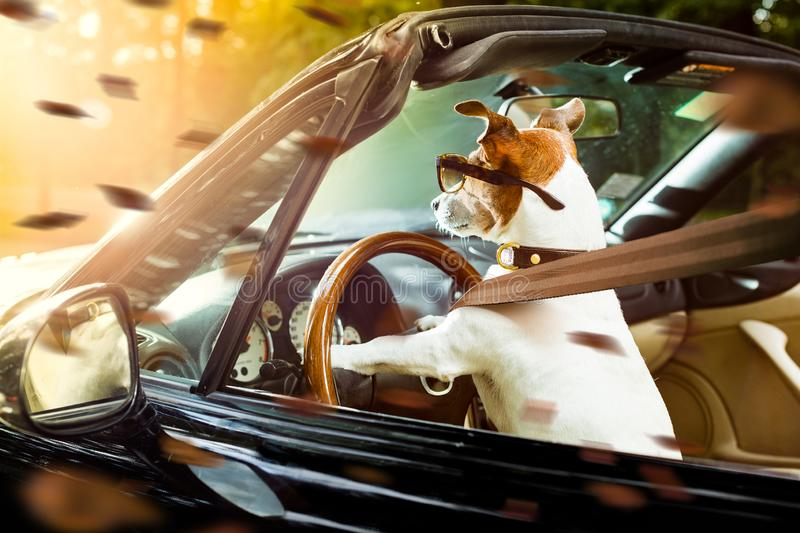 Dog drivers license  driving a car. Jack russell dog in a car close to the steering wheel, ready to drive fast and save , with seat belt fastened  in  windy royalty free stock image