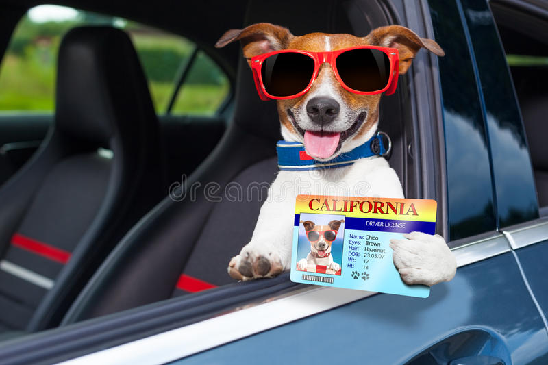 Dog drivers license stock image