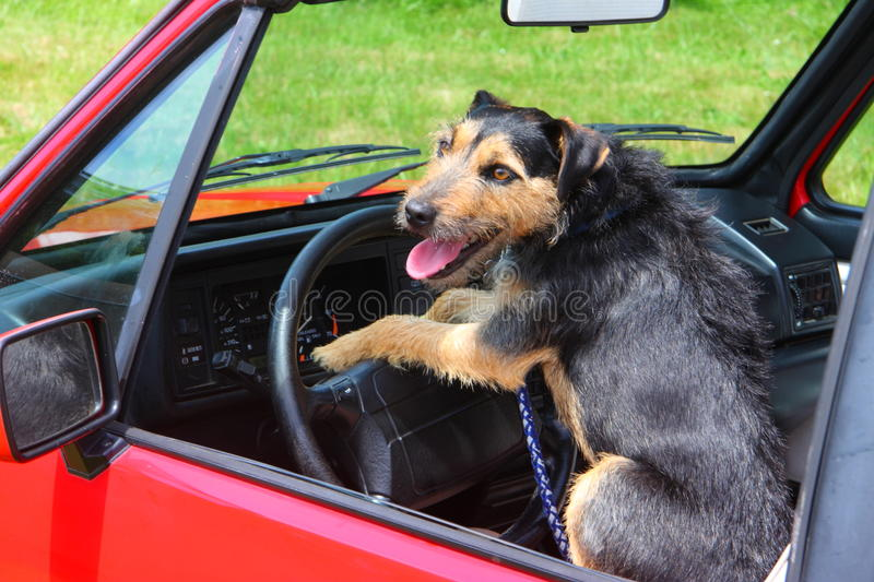 Dog Driving royalty free stock images