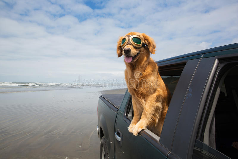 Dog driving in a truck on the beach royalty free stock photo