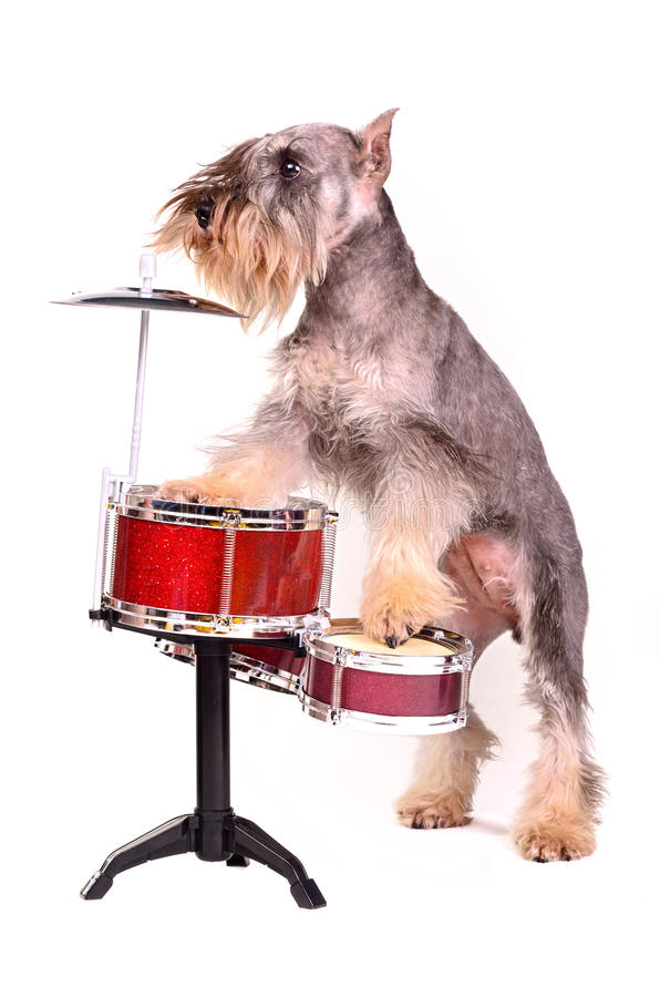 Dog with a drum kit stock photography