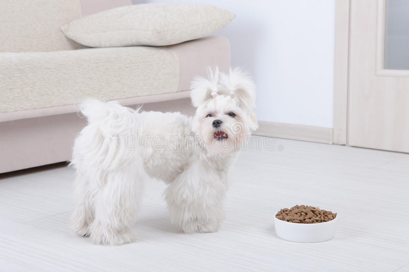 Dog and dry food. Little dog maltesewith his food from a bowl in home stock image