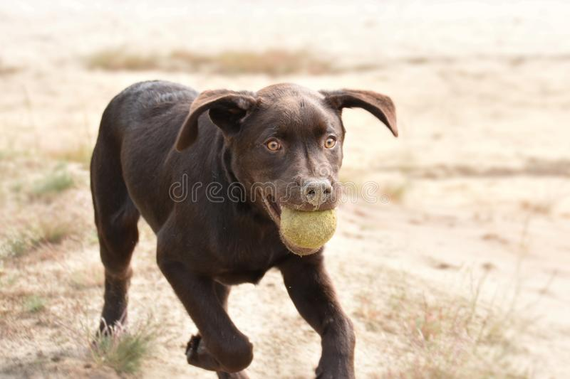 Dog in dunes playing with his ball royalty free stock photography