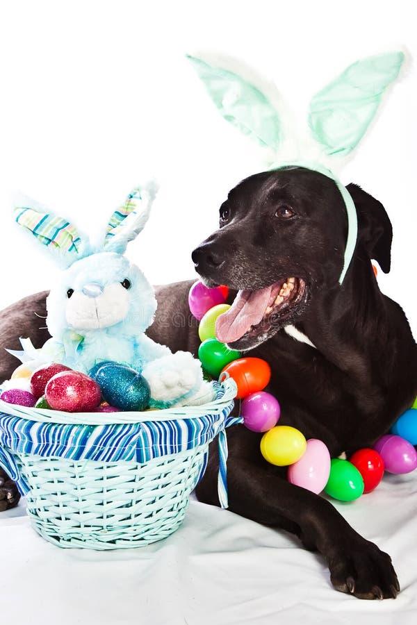 Dog and Easter basket. Black Labrador mixed dog with colorful Easter basket stock images