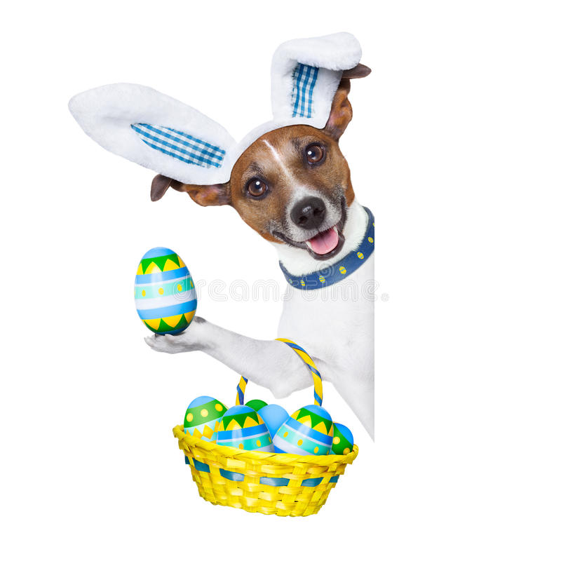 Dog easter bunny. Dog dressed up as bunny with easter basket full of eggs stock photos