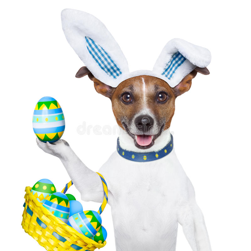 Dog easter bunny. Dog dressed up as bunny with easter basket full of eggs stock photography