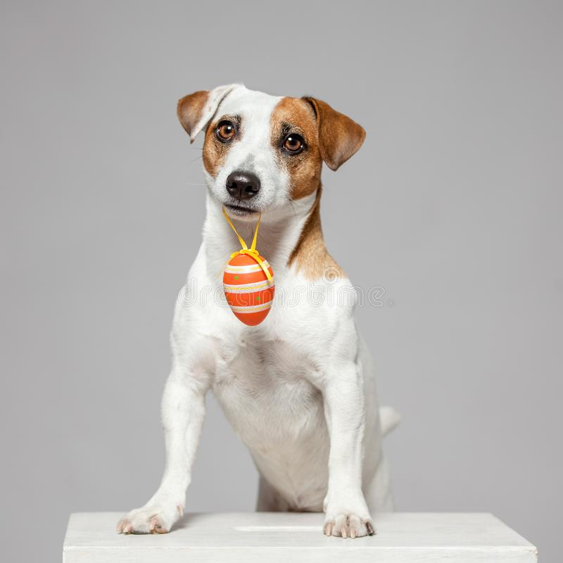 Dog with Easter egg. Happy pet stock photography