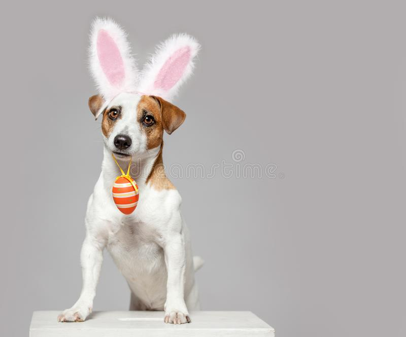 Dog with Easter egg. Dog wearing Easter bunny ears peeking out. Happy pet with egg royalty free stock image