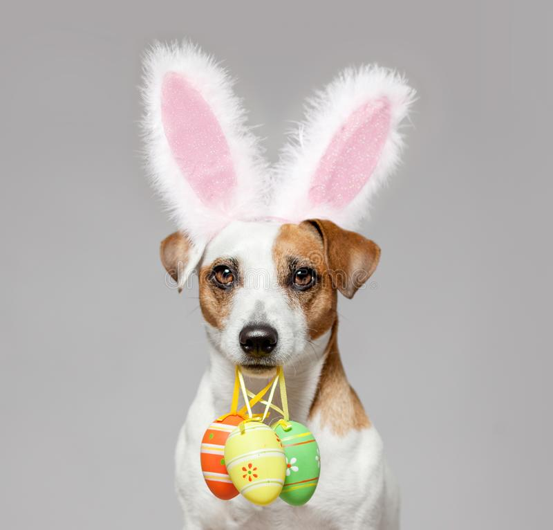 Dog with Easter egg. Dog wearing Easter bunny ears peeking out. Happy pet stock photography