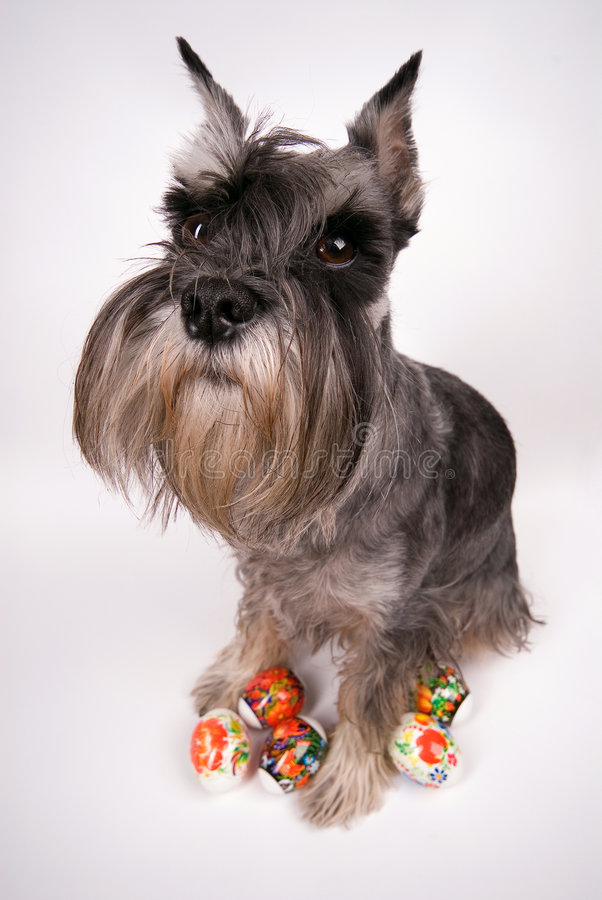 Dog and easter eggs. The dog sits with easter eggs on a white background royalty free stock images