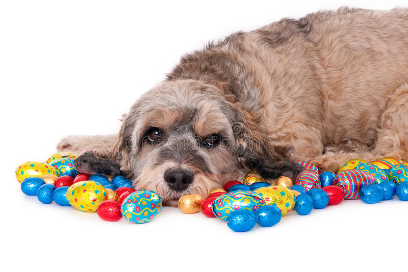 Dog with Easter eggs. Crossbreed dog midst chocolate Easter eggs, isolated on white royalty free stock image