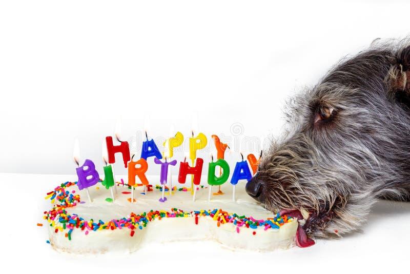 Dog Eating Bone Shaped Birthday Cake. Funny photo of dog eating bone shaped birthday cake with lit candles stock photos