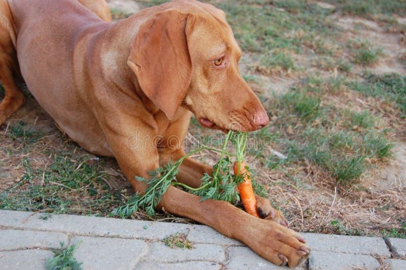 Dog eating carrot royalty free stock photo