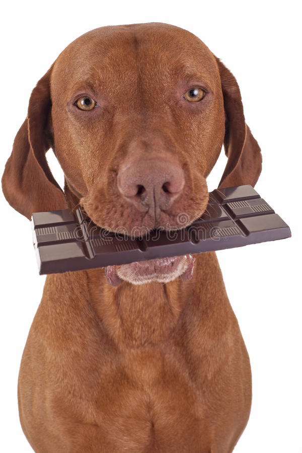 Dog eating chocolate. Pure breed golden dog holding real dark chocolate in mouth on white bakground royalty free stock images